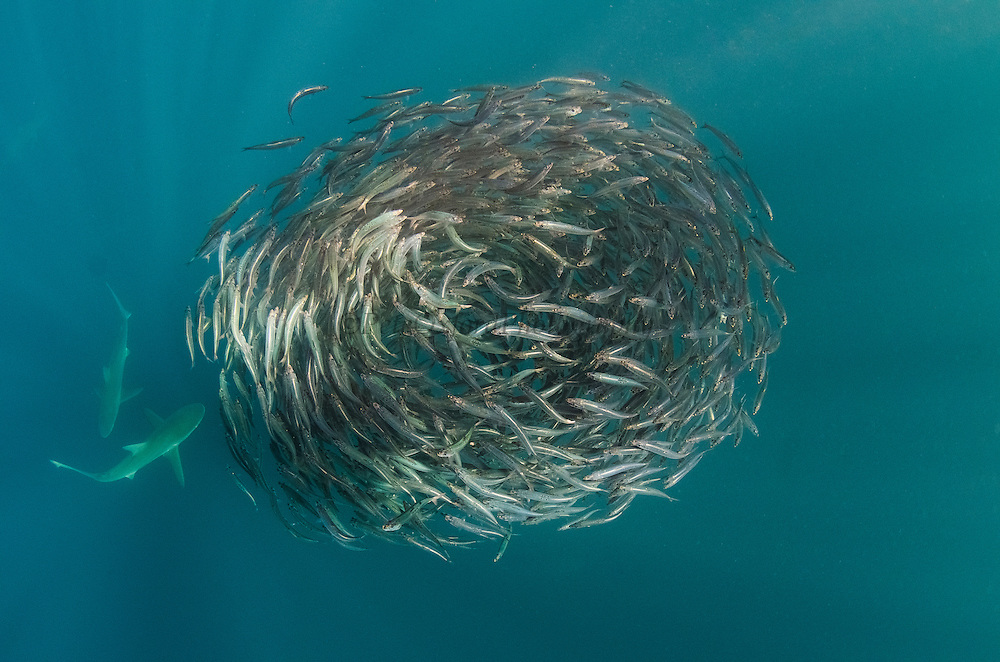 South African sardine (Sardinops sagax) & Bronze whaler shark (Carcarhinus brachyurus)<br /> Forming baitball<br /> Sardine run,<br /> Eastern Cape<br /> SOUTH AFRICA