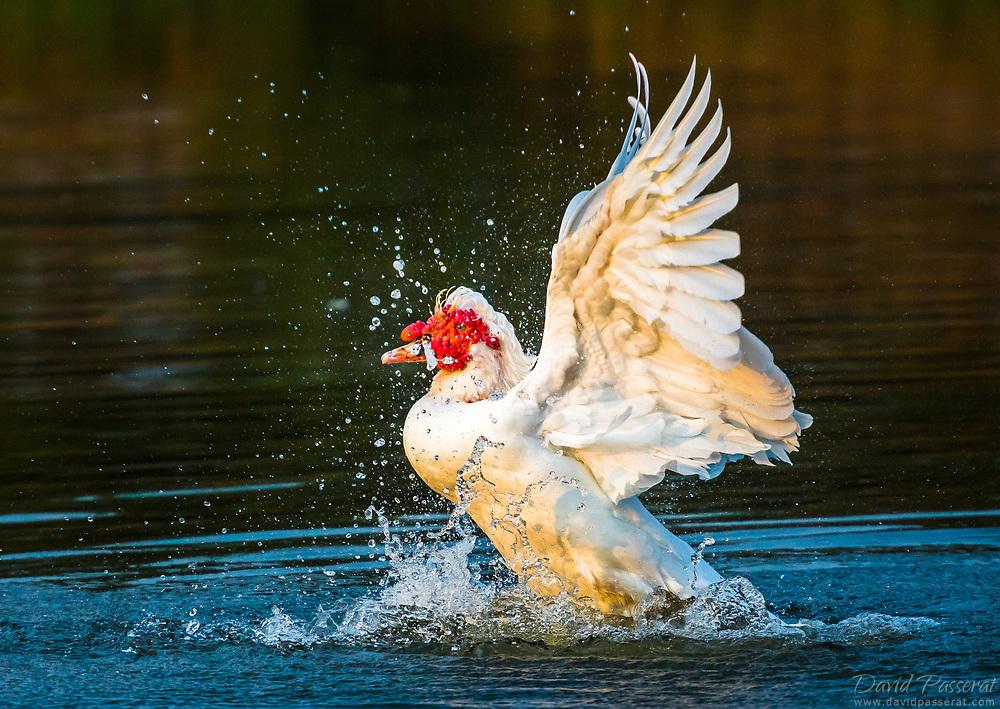 Muscovy Duck splash