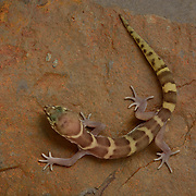 Western Banded Gecko, Coleonyx variegatus, Photographed under controlled conditions during a Greatergood.org Madrean Discovery Expedition to the Sierra Cucurpe mountain range in Sonora, Mexico