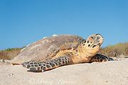 hawksbill sea turtle, Eretmochrlys imbricata, daytime nesting, female returns to sea after laying eggs, Delambre Island, Western Australia