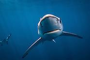 Prionace glauca (Blue Shark)