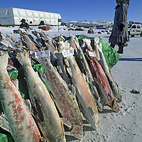 BAFFIN ISLAND, CANADA. Inuit woman sells frozen Arctic char in Iqaluit (formerly Frobisher Bay), capital of Nunavut, the new Inuit territory.