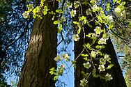 Dogwood tree flowers blossom in spring, Yosemite Valley, Yosemite National Park, California