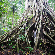 Man stands in a hollow in a giant fig, Ficus. tree in the rainforest