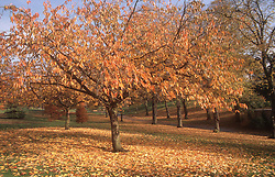Autumn scene with leaves falling from trees in country park,