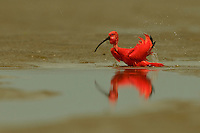 A female Scarlet Ibis (Eudocimus ruber) preening in a puddle in the middle of the mudflats of the Orinoco River Delta, Venezuela.
