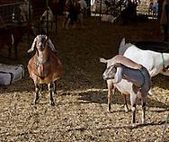 Cornwall, New York  - Dairy goats at Edgwick Farm on Feb. 4, 2012.