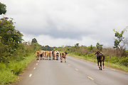 Carbonita_MG, Brasil...Gado na BR-367 em Carbonita...The cattle in BR-367 in Carbonita...Foto: LEO DRUMOND / NITRO