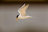 Least tern in flight along the Atlantic coast of Florida, © David A. Ponton