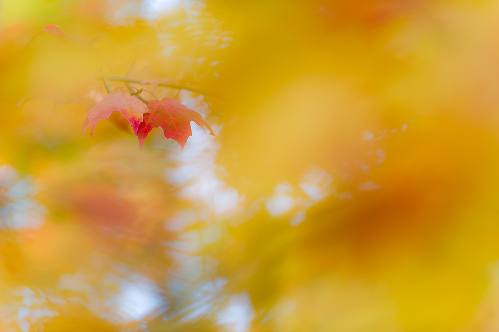 Maple leaves (Acer species) October, Ottawa National Forest, Ontonagon County, Upper Peninsula, Michigan,  USA
