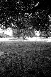 """Vista di un uliveto, ripresa all'ombra di un ulivo, situato nell'entroterra della c.d. circummarepiccolo, la strada che costeggia il mare piccolo di Taranto.. Il mare piccolo Ë un mare artificiale che fu fatto realizzare da re Ferdinando I di Napoli nel 1481. Per questo Taranto Ë conosciuta come """"la citt? dei due mari"""", il Mare Grande e, appunto, il Mare Piccolo. Nel seno del Mare Piccolo inizia la coltivazione dei mitili (le cozze""""), favorita dalla presenza dei c.d. citri, ovvero """"sorgenti di acqua dolce che sboccano dalla crosta sottomarina [e che] rappresentano lo sbocco naturale di quei corsi d'acqua che in epoche assai remote hanno dato origine alle gravine in Puglia, e che scomparsi oggi dalla superficie scorrono in reti idrografiche sotterranee sfociando nel Mar Ionio e nel Mare Adriatico..Da secoli uliveti e ulivi monumentali sono profondamente innervati nel paesaggio pugliese, nella sua storia e nella sua economia. Sono i primi navigatori fenici e greci a diffondere la coltivazione, proseguita poi dagli Arabi e dai Romani..nerazioni di potatori ed esperti di innesto  pugliesi hanno fatto il resto. Tra gli oltre 60 milioni di piante, costituenti il patrimonio ulivicolo di Puglia, cinque milioni di ulivi secolari monumentali ora sono  sottoposti a particolare tutela..Ancora oggi gli appezzamenti di terra coltivate ad uliveto da famiglie proprietarie sono il cuore della cultura contadina pugliese con le loro piante secolari , i loro trappeti e le loro consuetudini millenarie di raccolta e produzione (fonte http://www.tourpuglia.it/cosa-vedere/natura-e-paesaggio/tra-uliveti-e-ulivi-secolari)."""