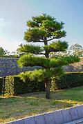 Osaka Castle, Osaka, Kansai, Japan. Pine tree in the formal garden