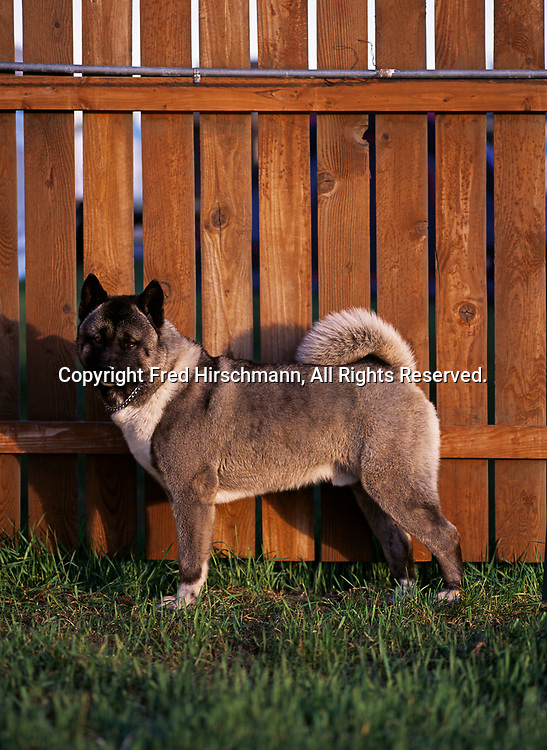 """Akita, AKC, 5-year-old """"Maverick"""" photographed in Fairbanks and owned by Kathy Allen of Wasilla, Alaska.  (PR)"""