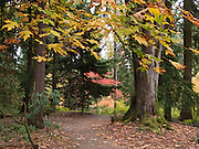 Path in fall foliage color. Washington Park Arboretum, a joint project of the University of Washington, the Seattle Department of Parks and Recreation, and the nonprofit Arboretum Foundation.
