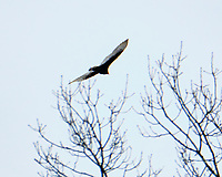 Turkey Vulture (Cathartes aura). Image taken with a Fuji X-H1 camera and 100-400 mm OIS lens.
