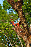 A pair of Scarlet Macaws (Ara macao) have a playful interaction on a branch in Golfo Dulce, Costa Rica.