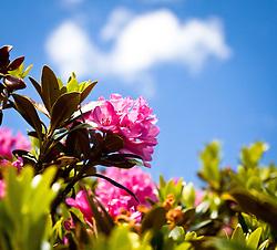 04.07.2011, Kitzsteinhorn, Kaprun,THEMENBILD: ALPENROSE, im Bild mehrere Alpenrosen, die bekannte Alpenpflanze wird auch als Almrausch, Almenrausch oder Steinrose bezeichnet // FEATURE: ALPENROSE, several rhododendrons in the picture, the famous alpine plant is also known as rhododendron, Almenrausch or Rockery, EXPA Pictures © 2011, PhotoCredit: EXPA/ J. Feichter