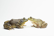 A male (left) and female American bullfrog (Lithobates catesbeianus) - an invasive species in the western North America.