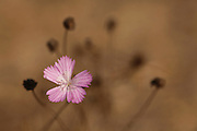 Wild Pink also Wild Carnation (Dianthus strictus) Photographed in Israel in July
