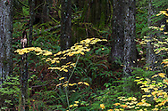 Vine Maples fall leavesl in Rolley Lake Provincial Park, British Columbia, Canada