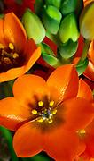 Spring Flowers, Sun Star