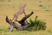 Cheetah (Acynonix jubatus) standing on log surveying the savanna, Masai Mara National Reserve, Kenya.