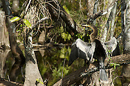 An Anhinga dries its wings in the Big Cypress Swamp near Ochopee, FL<br />  <br /> The anhinga is a water bird and it does not have oil glands for waterproofing its feathers like most water birds. When it swims and chases after prey its feathers get wet.  When it is above water, it must spread its wings to dry in the sun. It can fly with wet feathers but not as well.