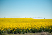 Canola field at Madison Farms in Echo, Oregon.