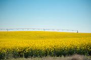 Canola field at Madison Farms in Echo, Oregon.