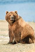 Alaska. McNeil River. Brown Bear (Ursus arctos).