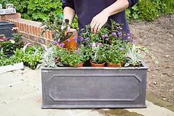 Planting up a trough - arranging plants. Senecio cineraria, Nemesia Bluebird, Pelargonium and Helichrysum petiolare and Argyranthemum frutescens (Marguerite Daisy)