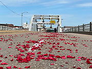 7/26/2020 SELMA/Alabama - Justine Mayes of the Willie Wakins Funeral home from Atlanta spreads 3 thousand rose petals along the route that Civil Rights icon and Congressmen John Lewis will be carried. The rose petals represent the blood shed from Bloody Sunday in 1965. A horse drawn carriage from Watkins Funeral Home in Atlanta leads the flag draped casket of Civil Rights icon and Congressman John Lewis over the Edmund Pettus Bridge for the last time.The rose petals represent the blood shed from Bloody Sunday in 1965 where Lewis was beaten by police and ended up with a  fractured skull. On the anniversary of President Lyndon Johnson signing the Voting Rights Act, Congressman John Lewis's casket is pulled by a horse drawn carriage  across the Edmund Pettus Bridge in Selma for the last time. The casket is headed to the State Capitol in Montgomery where he will lay in state and then will head to Washington DC and then to his final resting place in Atlanta Georgia.  Photo© Suzi Altman
