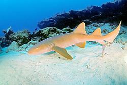 nurse shark, Ginglymostoma cirratum, Key Largo, Florida Keys National Marine Sanctuary, Florida, USA, Caribbean Sea, Atlantic Ocean