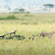 """A cheetah mother is followed by her five vulnerable cheetah cubs, as she teaches them about hunting.<br /> <br /> *For all details about sizes, paper and pricing starting at $85, click """"Add to Cart"""" below."""