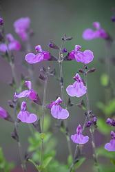 Salvia 'Blue Merced' - sage