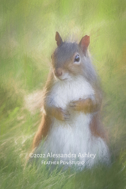 Gray squirrel strikes charming pose while glancing shyly at photographer. Pencil sketch effect blended with original image.