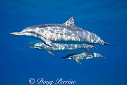 Hawaiian spinner dolphins or Gray's spinner dolphin, Stenella longirostris longirostris, with calf, Ho'okena or Hookena Beach, South Kona, Hawaii ( the Big Island ), USA ( Central Pacific Ocean )