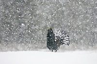 Capercaillie (Tetrao urogallus) male displaying in wintry pine forest, Cairngorms National Park, Scotland.