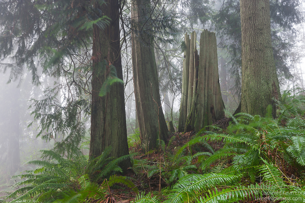Several old growth trees, including western red cedar, stand above Woodard Bay near Olympia, Washington on a foggy morning.