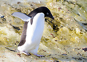 An Adélie penguin (Pygoscelis adeliae) carefully picks its way over algae stained ice near its nesting colony. Hope Bay, Antarctic Peninsula, Antarctica. 02Mar16