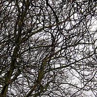 Europe, UK, England, Hertfordshire, Bushey. Bare tree branches of winter.