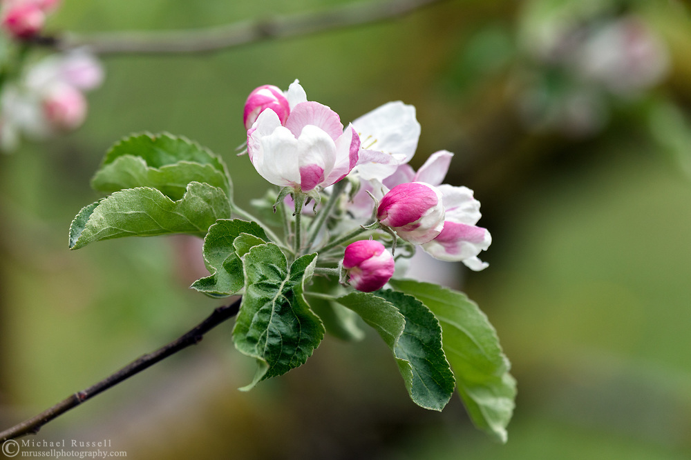 Blossoms on a Granny Smith Apple tree in the Fraser Valley of British Columbia, Canada.  Granny Smith Apples are likely a hybrid between Malus sylvestris (a wild apple in Europe) and a North American apple Malus pumila.