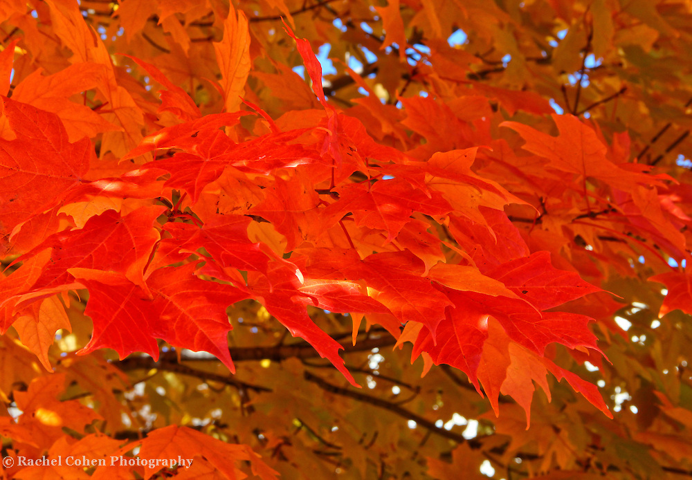 """""""Autumn Maple"""" 2<br /> <br /> If you love Maple leaves in autumn, then this orange and gold image of pure Maple leaves is sure to bring you joy!!<br /> <br /> Fall Foliage by Rachel Cohen"""