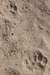 Mountain lion tracks along Cuchillo Negro Creek near Sophio Canyon, Ladder Ranch, west of Truth or Consequences, New Mexico, USA.