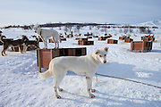 Alaskan Husky dogs at kennels at Villmarkssenter wilderness centre on Kvaloya Island, Tromso in Arctic Circle Northern Norway