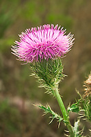 The incredibly spiky purple thistle is a very common and very tall wildflower seen in many disturbed areas in all of Florida. It is a great food source for many types of butterflies.