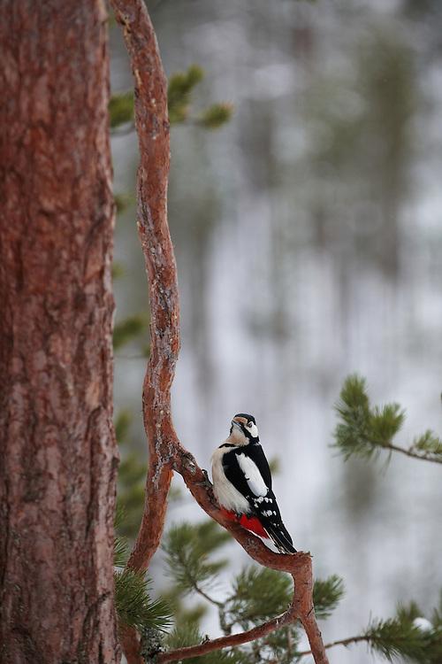Greater Woodpecker (Dendrocopos major)KOROUMA; POSIO; FINLAND 2009;