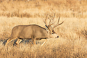 Mule deer buck  during the rut Mule deer buck during the autumn rut