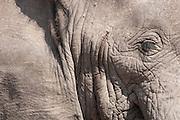 African Elephant profile, Amboseli National Park, Kenya
