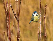 Blue Tit; Parus Caeruleus; perched on budding Viburnum in Lancashire; UK
